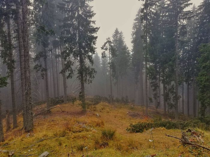 Spruce Tree Picea Abies EyeEm Nature Lover EyeEmNewHere Forest Photography Nature Photography EyeEm Best Shots EyeEm Selects EyeEm Tree Forest Fog Tree Area Pixelated Sky Landscape