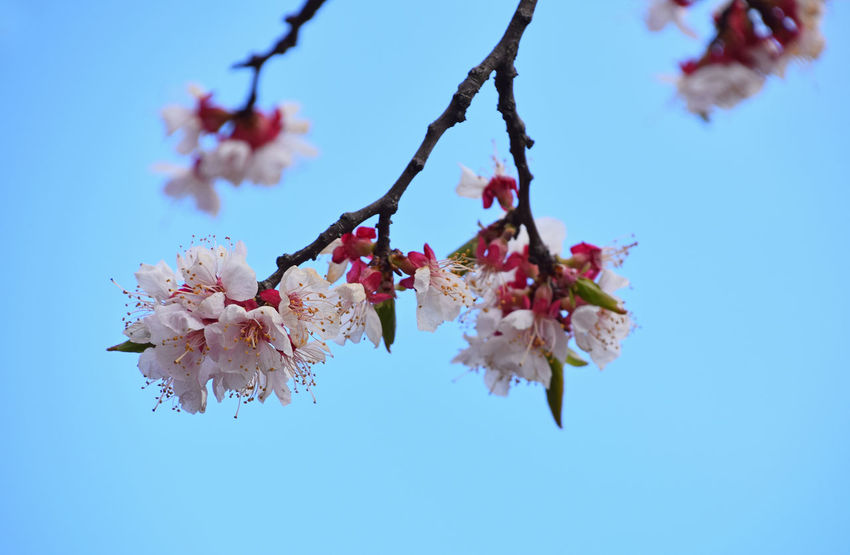 Apricot tree cherry blossoms over blue sky Apricot Apricot Tree Beauty In Nature Blossom Blue Sky Clear Sky Close-up Day Flower Flower Head Fragility Freshness Growth Low Angle View Nature No People Outdoors Pink Color Season  Sky Spring Spring Flowers Springtime Tree