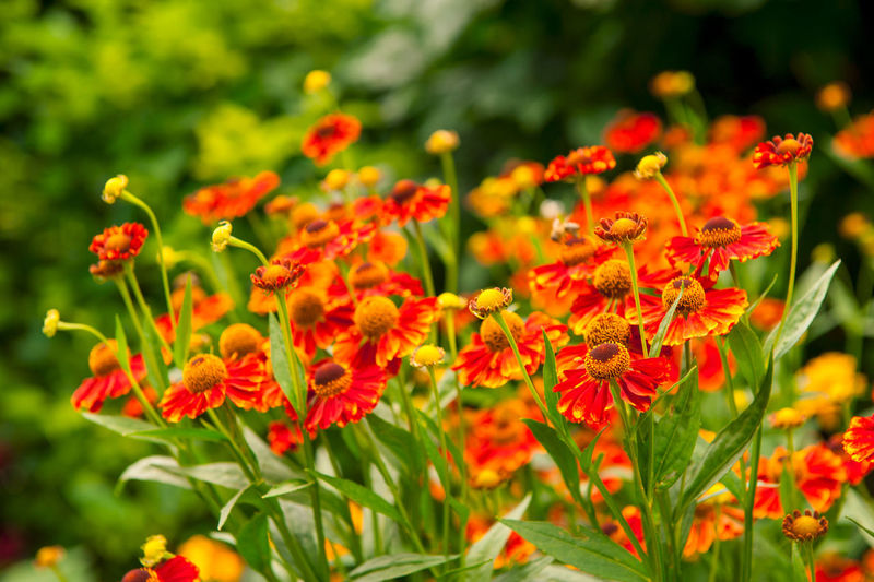 Hortulus - Garden Farm, Poland Beauty In Nature Blooming Close-up Day Flower Flower Head Fragility Freshness Growth Marigold Nature No People Outdoors Petal Plant Red