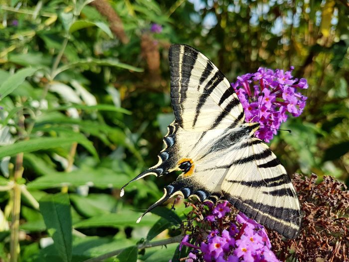 My name is Flambé... Wildlife & Nature Butterfly ❤ Insect Beauty In Nature Flower Nature Butterfly - Insect Beautiful Nature Gathering Pollen Summer Insects Animal Themes Close-up