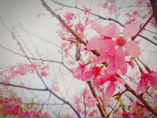 花永生,爱永恒。 Sakura Love Springtime