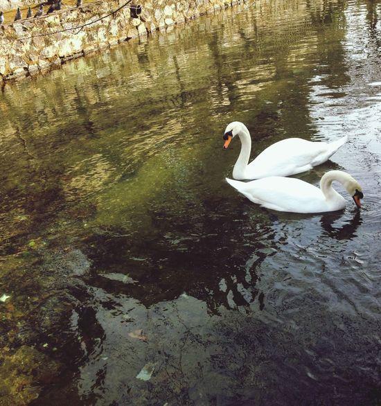swan Swans Swan Nature Japan Two Animals Animals In The Wild Animal Themes Lake Bird Water Swimming EyeEmNewHere