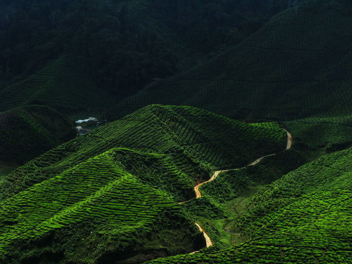 High angle view of tea plantations