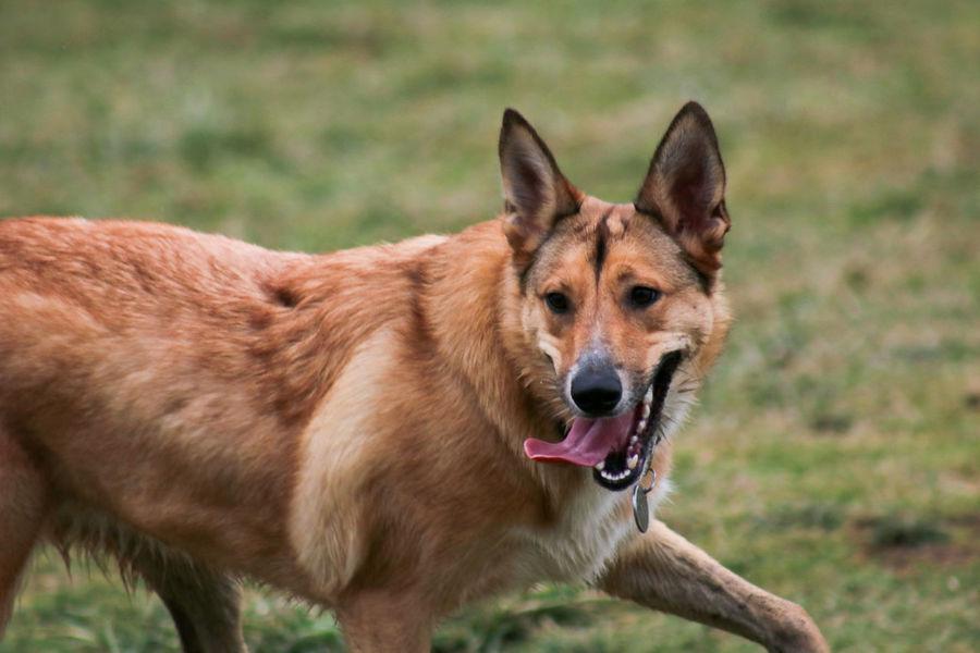 Close-up Dog Full Screen German Shepherd Outdoors Panting Pet Running Tounge Out