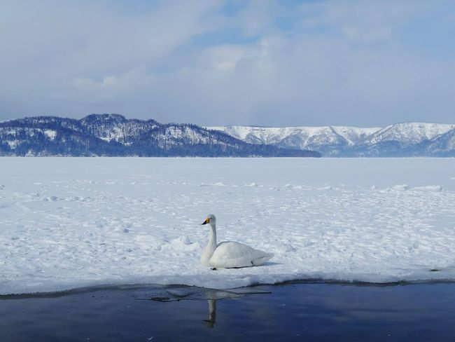Kussharo Lake Animal Wildlife Snow Beauty In Nature Winter Nature No People Water Mountain Swan Outdoors Animal Themes Lake Frozen Lake