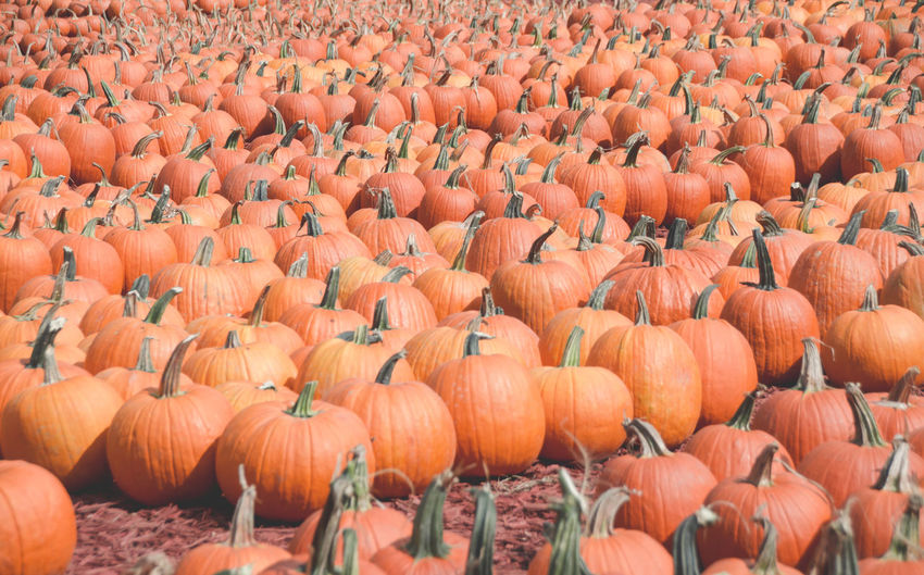 Full frame shot of pumpkins at farm