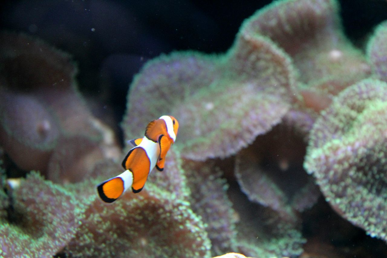 underwater, clown fish, undersea, animal themes, sea life, one animal, animals in the wild, animal wildlife, fish, swimming, water, sea, no people, coral, nature, sea anemone, aquarium, beauty in nature, close-up, outdoors, day