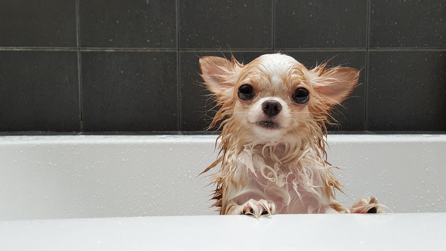 Close-up portrait of wet chihuahua in bathtub