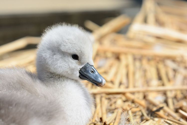 Close-Up Of Cygnet On Hay