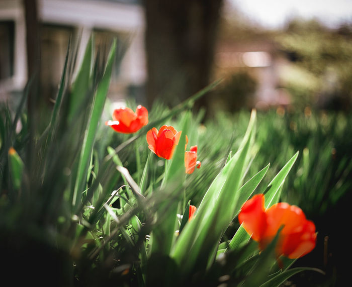 Bloom on Portra 400 medium format film Red Summertime Background Blur Beauty In Nature Blooming Blur Bokeh Close-up Flower Flower Head Flowers Fragility Freshness Grass Growth Nature Outdoors Plant Poppy Red Red Color Selective Focus Spring Springtime Tulip