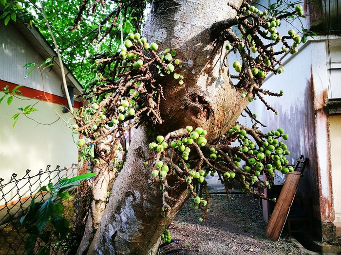 Tree Growth Plant FROOT 🍇🍒🍋