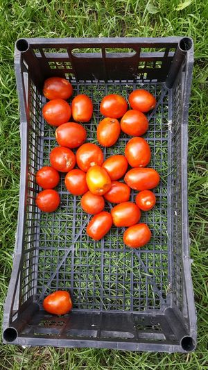 organic tomatoes in a crate Grass Organic Tomatos Tomato NO Pesticides!!! Ripe Organic Food Organic Farm Garden Healthy Eating Fruit High Angle View Close-up Food And Drink Farmer's Market Homegrown Produce Juicy Blade Of Grass Grassland Cultivated Farmland Community Garden