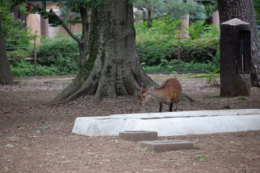 Cervus Nippon Zoo Cervus Day Forest Land Nihonjika Outdoors Tree Yakushika Zoo Animal Zoo Animals  Zoo Photography