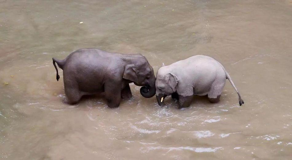 斗趣 野象谷 西双版纳 Elephant