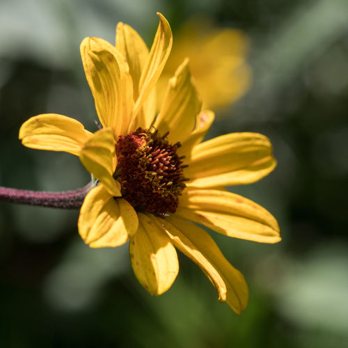 Garden Photography (cont.) Summertime Beauty In Nature Black-eyed Susan Blooming Blossom Close Up Day Flower Flower Head Flowers Fragility Freshness Garden Garden Photography Growth Nature No People Outdoors Petal Plant Plants And Flowers Pollen Stamen Yellow