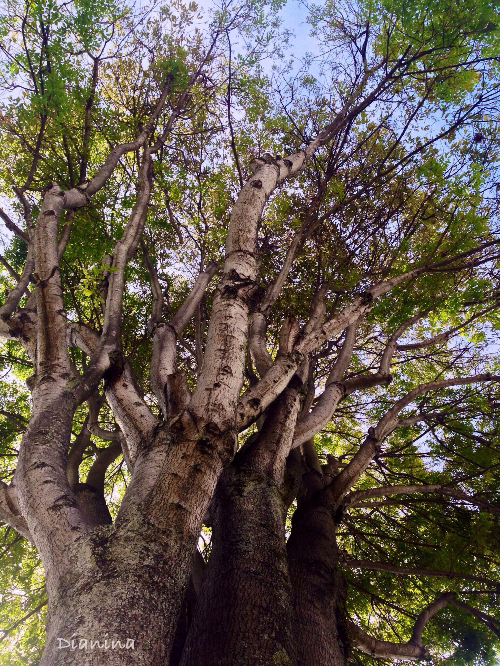 tree, low angle view, tree trunk, branch, growth, nature, tranquility, sky, forest, day, beauty in nature, outdoors, green color, no people, wood - material, tall - high, sunlight, bark, woodland, scenics