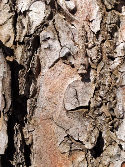 Pine Trees Camouflage Close-up Textured  Tree Trunk Rough Outdoors Brown Camouflaged Insect Mentis Full Frame Tree Hiding Dead Still