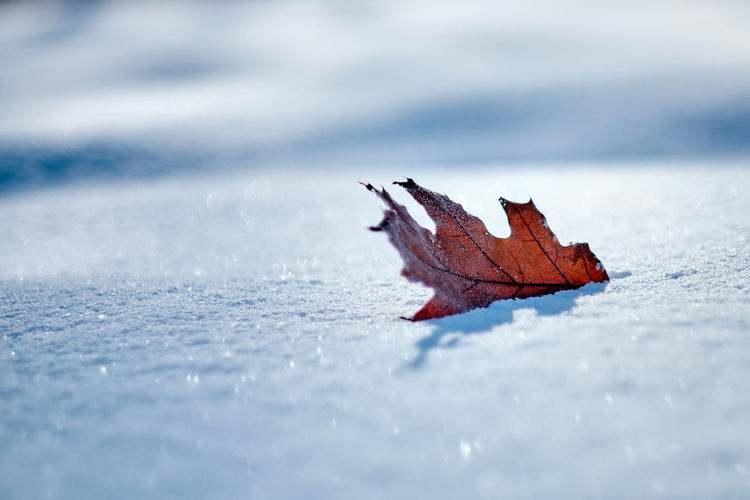 Lonely leaf In Parc Jacques-Cartier, Sherbrooke, QC, Canada Nature Leaf Snow Outdoors Frozen Close-up Cold Temperature Winter Beauty In Nature FUJIFILM X-T2 Olney 2018 Sherbrooke Quebec Canada Feuilles Hiver Neige