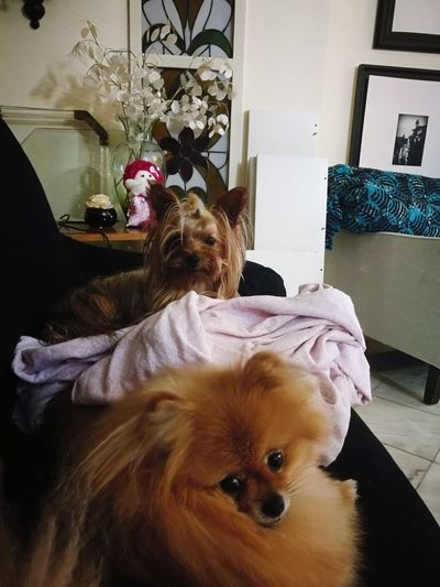 A ver TV... Ladyinred CassiusClay Dog Yorkshire Terrier Pomeranian