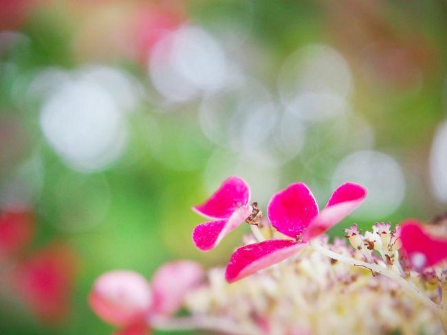 ココロを溶かすように花開く… 山紫陽花 あじさい Flower Collection My Point Of View 日だまり EyeEm Nature Lover EyeEm Gallery Eyemphotography EyeEm Best Shots Pink Color EyeEm Best Shots - Nature Beauty In Nature