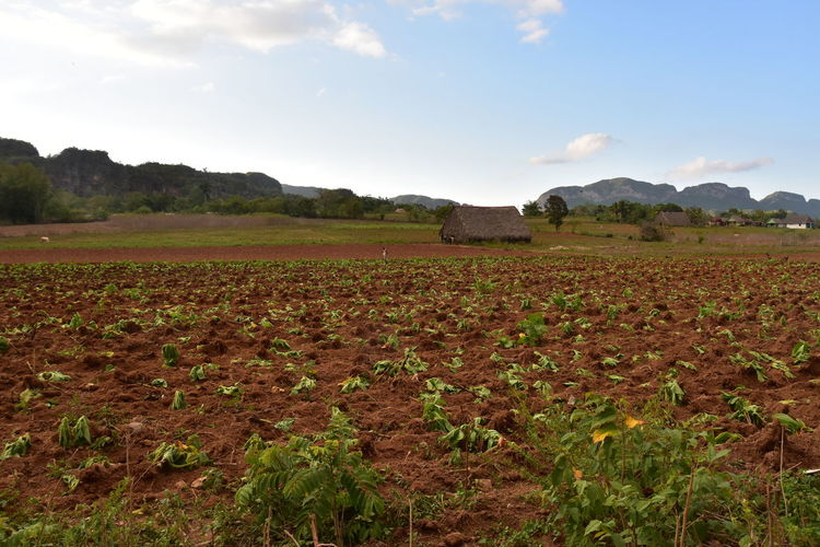 Farm Life From My Point Of View Planting Rural Lifestyle Walking Around Day Rural Home Rural Scene Tabaco Vinales Cuba