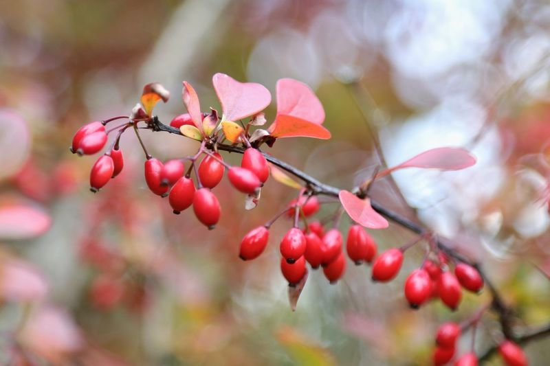 """Autumn Colors"" Fruit Growth Red Nature Focus On Foreground Day Outdoors Close-up No People Beauty In Nature Food And Drink Plant Freshness Tree Food Autumn Autumn Colors Herbst Weißdorn Michael Hruschka Macro Makro Beauty In Nature Herbststimmung Autumn Collection"