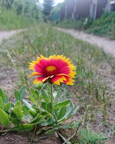 Life Red Yellow Orange Red Yellow Flowers Road RedFlower Flower Head Flower Petal Leaf Field Springtime Plant Green Color Zinnia  Blooming In Bloom Plant Life Eastern Purple Coneflower