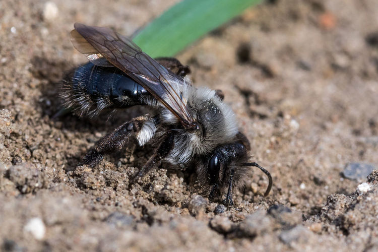 Digging bee Animal Animal Themes Animals In The Wild One Animal Animal Wildlife Invertebrate Insect Close-up Land Day Nature No People Arthropod Selective Focus Zoology Outdoors Animal Body Part Field Bee