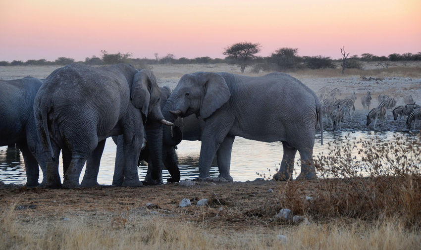 Namibia Animal Elephant Animal Themes Group Of Animals Animals In The Wild Animal Wildlife Mammal Sunset Sky Vertebrate No People Nature Plant Safari African Elephant Water Young Animal Field Outdoors Animal Family Herbivorous Animal Trunk