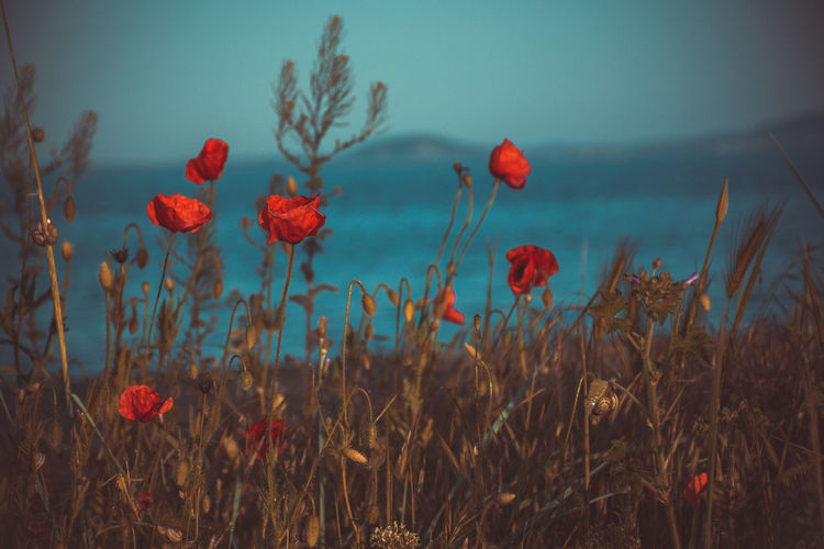 Flowers,Plants & Garden Nature Beauty In Nature Close-up Day Field Flower Flower Head Flowering Plant Flowers Focus On Foreground Fragility Freshness Growth Land Nature No People Petal Plant Poppy Red Sea Sky Tranquility Vulnerability