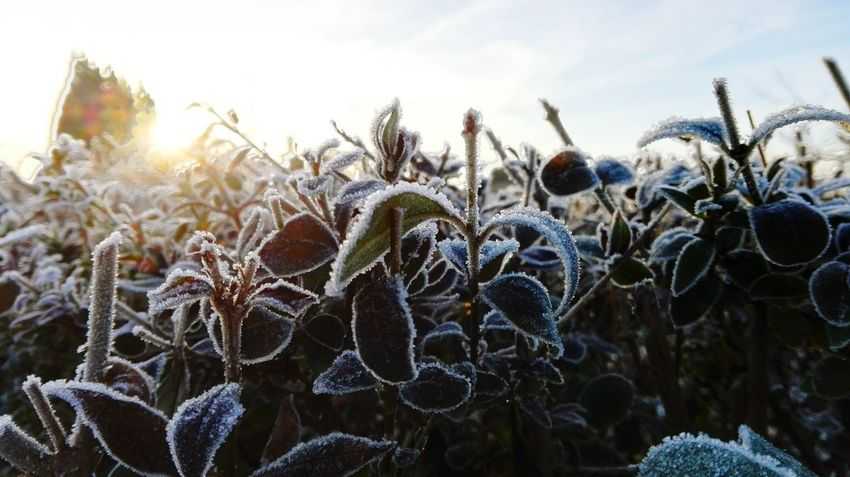 Growth Sky Beauty In Nature Outdoors Winter Cold Temperature Frosted Leaf Sunlight Winter Is Coming... How's The Weather Today? Sunbeam Sun It Is Cold Outside Autumn 2016 Coldweather Showcase December December 2016 The Places I've Been Today First Touch Of Winter Bokeh Iced Hello December