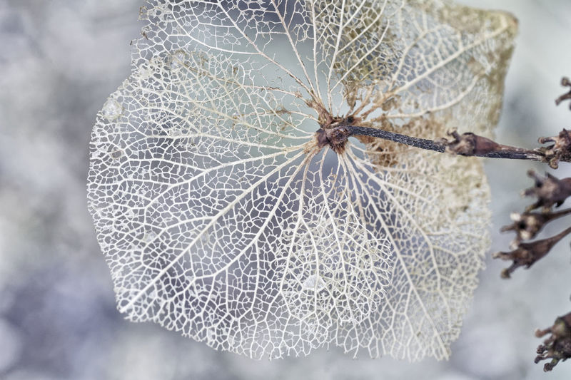 Like Frozen Lace Decay Hydrangea Beauty In Nature Close-up Focus On Foreground Fragility Nature No People Outdoors
