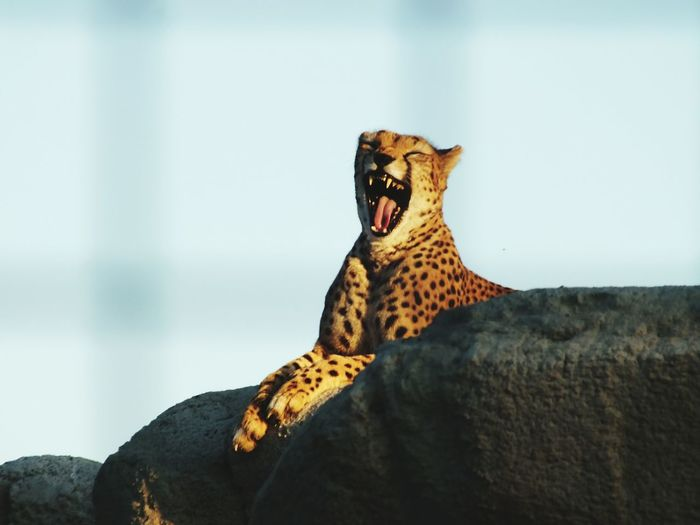 Low angle view of leopard yawning on rock against sky