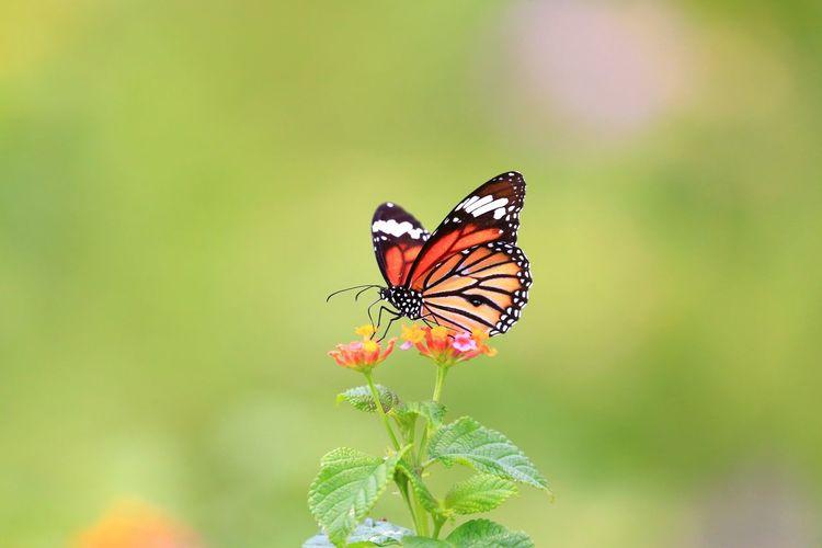 虎班蝶 Common
