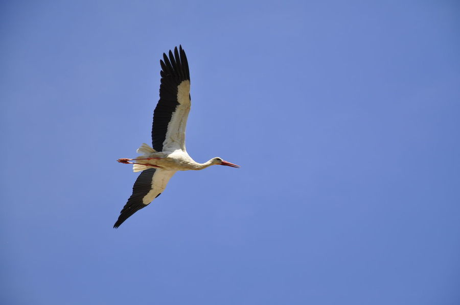 Spread Wings Flying Clear Sky Bird Of Prey White Stork Blue Stork Sky Animal Themes