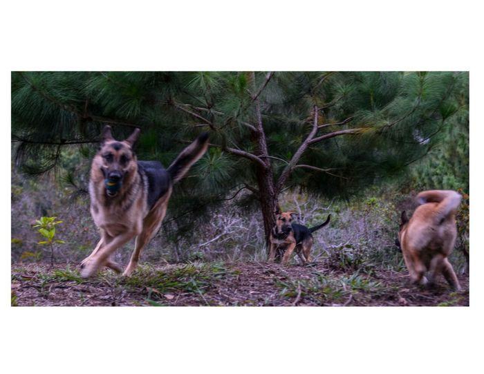 Dog Pets Domestic Animals Animal Themes Outdoors No People German Shepherd Day Mammal Nature