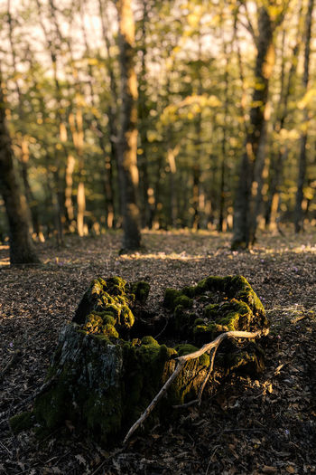 Tree Plant Forest Land Nature Growth Tranquility Day No People Tree Trunk WoodLand Trunk Beauty In Nature Focus On Foreground Outdoors Sunlight Tranquil Scene Non-urban Scene Rock Close-up Bark Surface Level