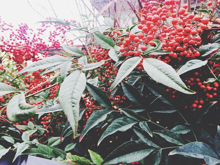 Christmastime Nature EyeEm Nature Lover Red