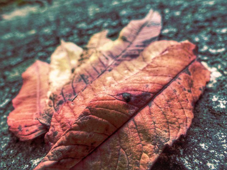 Nature Portsmouth Snapseed Autumn Change Close-up Dry Fz72 Leaf Overedited Turning