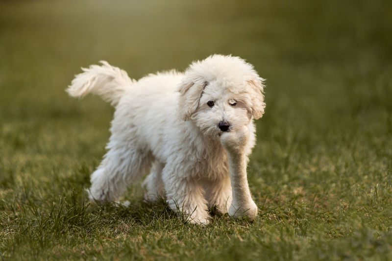 White dog with toy bone on grassy field