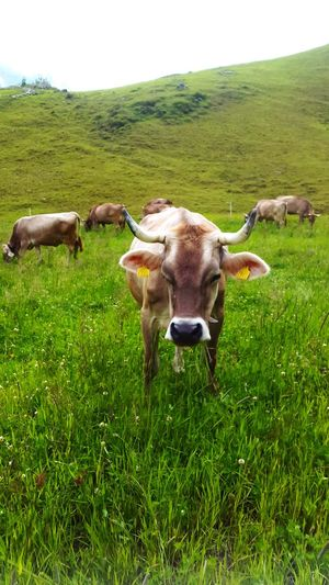 Alpen Schwitzerland Grass Domestic Animals Cow Domestic Cattle Green Color Field Animal Themes Landscape Outdoors Nature EyeEm Ready   EyeEmNewHere This Is Masculinity