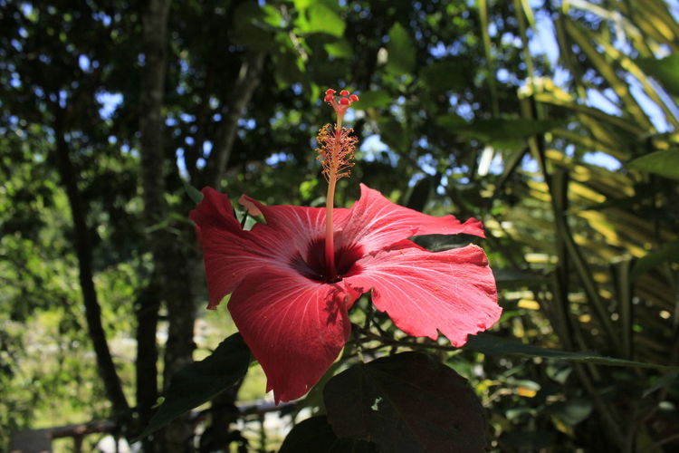 Close-Up Of Red Hibiscus Blooming Against Trees