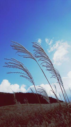 すすきと青い空 Kaoriiiinya Japanese Pampas Grass Hakone Sengokuhara Sky Scenery Susuki Blue Blue Sky