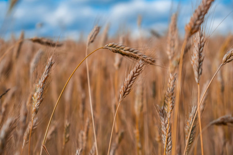 Spikelets of wheat in the field on blurred background