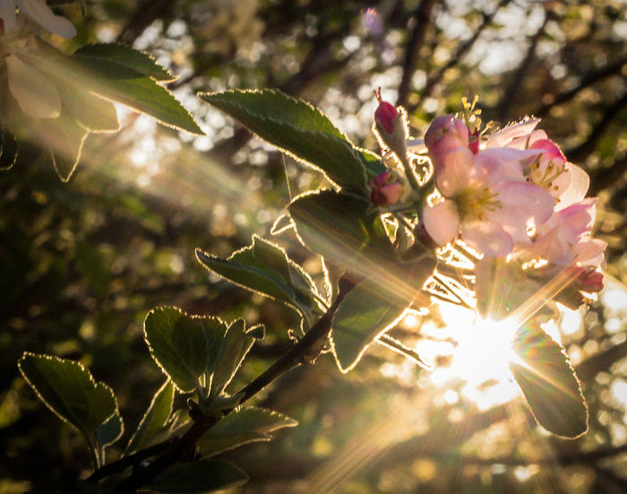 Nature Growth Leaf Beauty In Nature Flower Plant Close-up Beauty No People Freshness Fragility Petal Outdoors Flower Head Branch Sunset Pink Flowers Warmth Warmth Feeling Warm Light Starburst Sun Peeking Through Sun Behind Tree Sunrays Sunbeams EyeEmNewHere