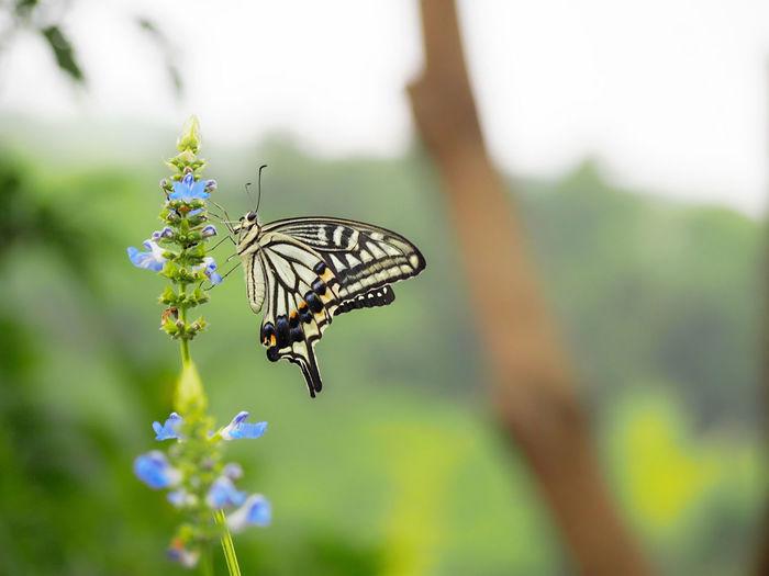 心の声に耳を傾けて… キアゲハ 蝶々 Butterfly - Insect Butterfly Collection Insect Collection EyeEm Nature Lover EyeEm Best Shots Taking Photos EyeEm Gallery Eyemphotography Beauty In Nature EyeEm Best Shots - Nature