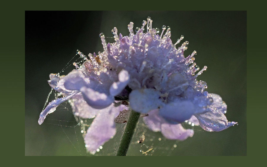 Drops like pearls / Tropfen wie Perlen Beauty In Nature Blüte Close-up Day Dew Flower Flower Head Fragility Freshness Macro Morning Light Nature No People Outdoors Plant Skabiose Tautropfen Tropfen