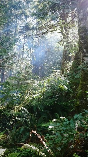Nature Evergreens Pacific Northwest  Oregon Oregon Coast Cape Lookout Cascadia Smoke Sunlight Sunbeams Green Green Nature