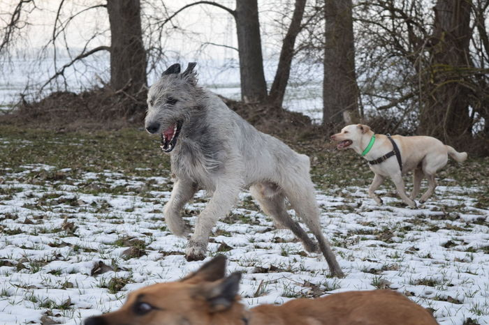 Domestic Animals Pets Dog Animal Themes Cold Temperature Snow Outdoors Dogwalk Dogs Of EyeEm January 2017 Irish Wolfhound Wartberg Dogslife One Animal How's The Weather Today? Winter 2017 Bokeh Fieldscape Beauty In Nature Close-up Running