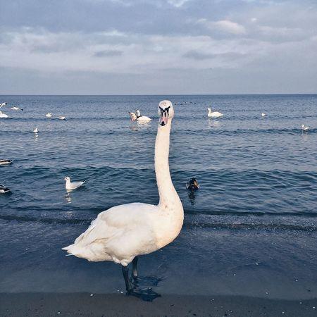 Iphoneonly ShotOniPhone6 Swan Winter Water Reflections Beautiful Sky Beautiful Nature AMTPt_community EyeEm Best Shots